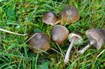 Star Pinkgill (Entoloma conferendum)