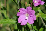 Greater Willowherb (Epilobium hirsutum)