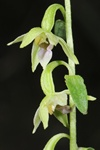 Green-Flowered Heleborine (Epipactis phyllanthes)