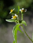 Shaggy Soldier (Galinsoga quadriradiata)