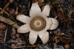 Geastrum michelianum