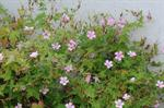 French Crane´S-Bill (Geranium endressii)