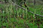 Creeping Lady´S Tresses (Goodyera repens)