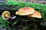 Common Rustgill (Gymnopilus penetrans)