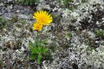 Hieracium section alpina