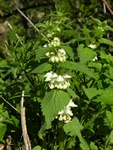 White Deadnettle (Lamium album)