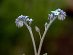 Mark-forglemmigej (Myosotis arvensis)
