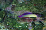Decorated dartfish (Nemateleotris decora)