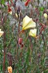 Fragrant Evening-primrose (Oenothera stricta)