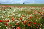Common Poppy, Field Poppy (Papaver rhoeas)