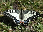 Svalestjert (Papilio machaon)