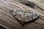 Brindled White-spot (Parectropis similaria)