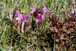 Mose-troldurt (Pedicularis sylvatica)