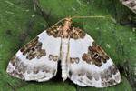 Blue-bordered Carpet (Plemyria rubiginata)