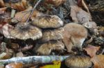 Velvet Shield (Pluteus umbrosus)