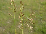 Flattened Meadow-Grass (Poa compressa)