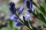 Common Milkwort (Polygala vulgaris)