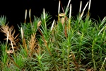 Bank Haircap (Polytrichastrum formosum)