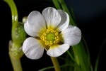 River Water Crowfoot (Ranunculus fluitans)