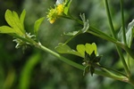 Rough-fruited Buttercup (Ranunculus muricatus)