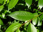 Bay Willow (Salix pentandra)
