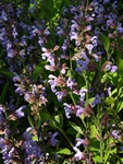 Læge-Salvie (Salvia officinalis)