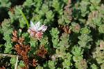 English Stonecrop (Sedum anglicum)