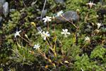 Rock Campion (Silene rupestris)