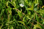 Great Chickweed (Stellaria neglecta)