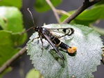 Welsh Clearwing (Synanthedon scoliaeformis)
