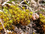 Great Hairy Screw-moss (Syntrichia ruralis)