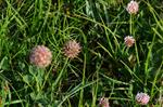 Strawberry Clover (Trifolium fragiferum)