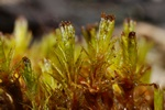 Frizzled Pincushion (Ulota phyllantha)