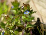 Mark-ærenpris (Veronica arvensis)