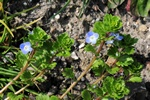 Common Field-Speedwell - Buxbaum´S Speedwell (Veronica persica)