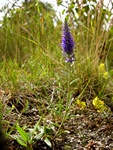 Véronique en épi (Veronica spicata)