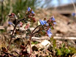 Fingered Speedwell (Veronica triphyllos)