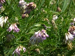 Wood Bitter-vetch (Vicia orobus)