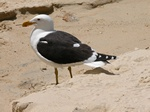 Lesser Black-backed Gull (Larus fuscus)