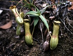 Kandebærer (Nepenthes gracilis)