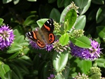 New Zealand Red Admiral (Vanessa gonerilla)