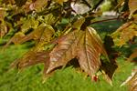 Norway maple (Acer platanoides (cv Schwedleri))