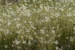 Snow-In-The-Summer (Cerastium tomentosum)