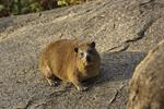 Black-necked Rock Hyrax (Procavia johnstoni)
