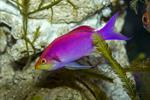 Yellowstriped fairy basslet  (Pseudanthias tuka)