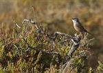 Spectacled Warbler (Sylvia conspicillata ssp. orbitalis)