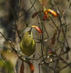 Cape White-eye (Zosterops capensis)