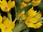 Yellow Loostrife (Lysimachia vulgaris)