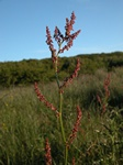 Almindelig Syre (Rumex acetosa ssp. acetosa)