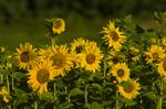 Sunflower (Helianthus annuus)